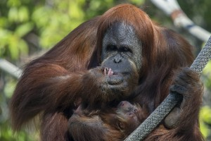 Orangutan Indah and baby
