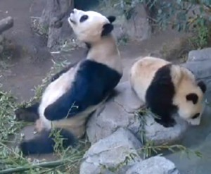 Bai Yun and Xiao Liwu, caught on camera this week