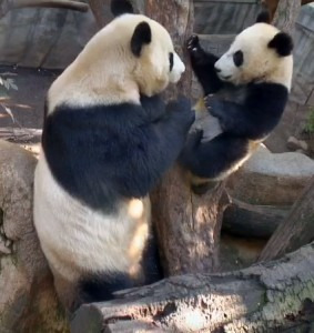Bai Yun and Xiao Liwu can sometimes create their own panda-monium!