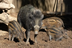 A warty pig mother keeps busy with her piglets.