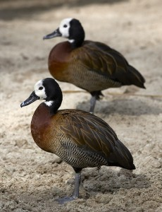 Two members of the white-faced whistling duck gang