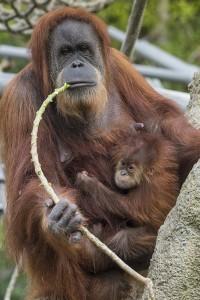 Orangutans Indah and Aisha