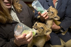 Lion Cubs at San Diego Zoo Safari Park