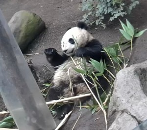 Xiao Liwu enjoys a bamboo lunch in his expanded habitat.