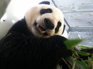 Yun Zi enjoys lunch in his traveling crate.