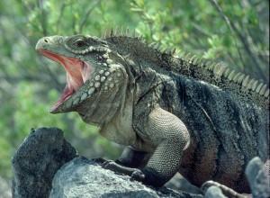 rock_iguana
