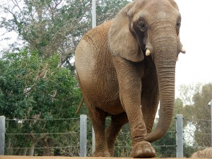 The San Diego Zoo's newest elephant: Mila.