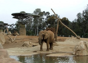 Mila explores one of the yards in the Zoo's Elephant Odyssey.