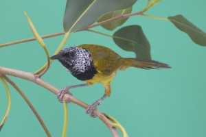 An oriole warbler is the new bird on the block.