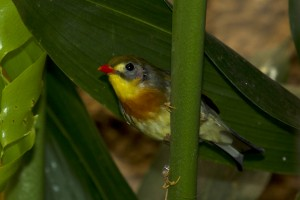 Listen to the red-billed leiothrix's song!