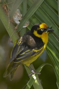 A Reichenow's weaver gathers nest material.