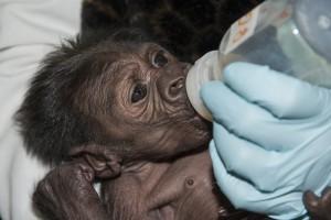 Gorilla baby feeding