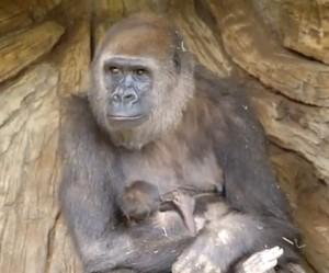 Gorilla Imani, Baby