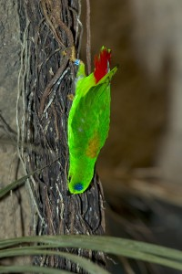 It's easy to see how the blue-crowned hanging parrot got its name!