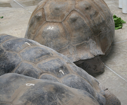 With these male tortoises looking so similar, the numbers on each of the Galapagos tortoise help the keepers quickly identify the tortoises. Although all these males are Galapagos tortoises, each develop different shell shapes depending on the environment they come from. Domed shelled tortoises live in lush, grassy highlands, while saddleback shelled tortoises living on other islands are more able to reach vegetation higher off the ground.
