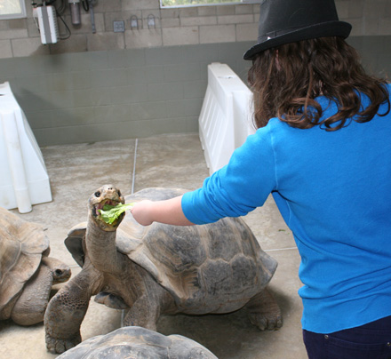 With lettuce in our hands, we became an instant attraction to the Galapagos tortoises as food is always on their mind. Here, intern Sabrina feeds a male tortoise that can weigh more than 500 pounds. The romaine lettuce provides a lot of nutrients compared to the lack of food in their natural desert climate.