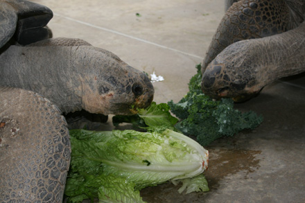 Being herbivores, lettuce is fed to the tortoises provide them the essential nutrients that they need. This abundance of food has allowed the tortoises to become healthier and larger than wild tortoises. Since tortoises don't have teeth, they use the edges of their sharp beak to bite the food and their throats to quickly swallow it.