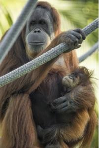 Orangutans Indah, Aisha