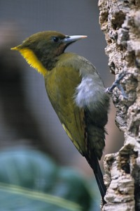 A yellow-naped woodpecker is hard at work.
