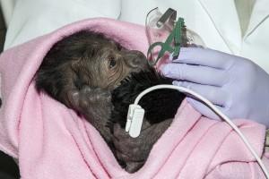 Baby Gorilla 3-14-14