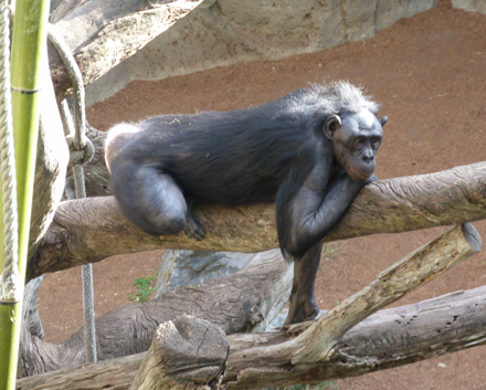 "At first glance, bonobos might seem similar to chimpanzees, and they are! They are in the same genus (as closely related as they can be without being the same species) and they used to be called ""pygmy chimpanzees."" However, bonobos are mostly vegetarians, while chimps do sometimes eat meat. Also, the females run bonobo society. Every male's status is determined solely by the status of his mother."