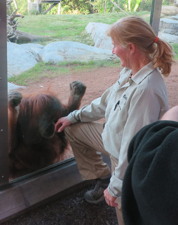 Ms. Livingstone and this female orangutan (Karen) have a special bond. Karen was born with some health issues and was raised by humans as a baby. Like many humans, she needed open heart surgery, successfully recovered and was eventually able to rejoin the other orangutans in their Zoo home.