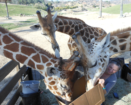 Sarah, our program supervisor, tries to hide the box of goodies unsuccessfully and the giraffes grab some easy leaves. Eventually, we were able to get the box out of their long-necked reach.