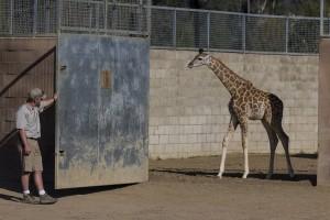 Giraffe calf Leroy