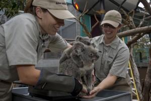 Koala Joey_Burra