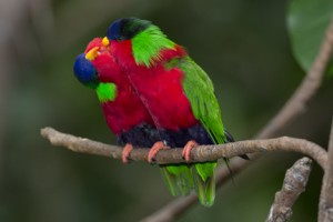 Collared lories