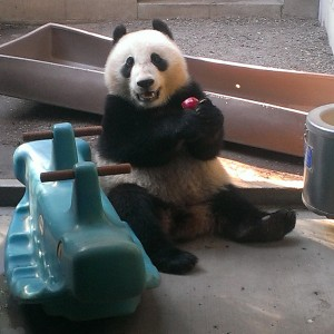 "Xiao Liwu relaxes in his off-exhibit bedroom next to his rocking ""horse."" See, he likes apples!"
