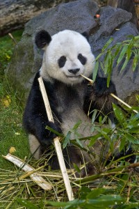 Get well soon, Gao Gao! Your bamboo awaits.