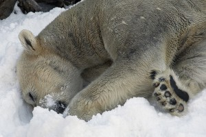 Kalluk enjoys last year's snow day at the San Diego Zoo.