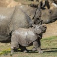 Leroy the giraffe calf isn't the only baby commanding lots of guest attention at the Safari Park these days. Parvesh, a greater one-horned rhino calf, was born to Alta on February 25, 2014. Like Leroy, he was born in a maternity corral.