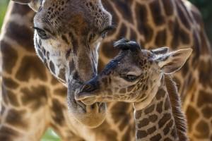 Giraffe Harriet and calf