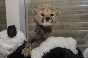 Cheetah Cub Ruuxa