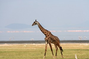 A male Masai giraffe strolls past flamingos in Tanzania.