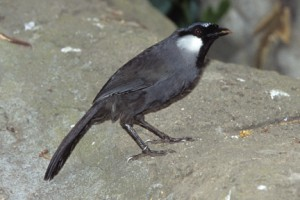 A black-throated laughingthrush parent is kept busy feeding its chicks.