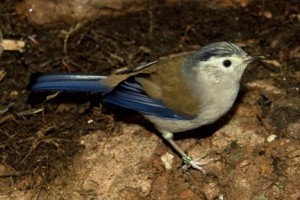 Blue-winged sivas are the smallest birds in the aviary and get fed first.