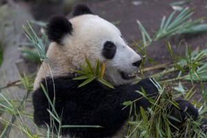 Xiao Liwu now eats more bamboo than his mother does!