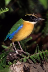 Blue-winged pittas love their megaworms.