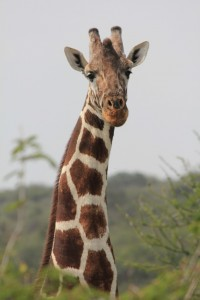 Rothchild's or Uganda giraffes would often just stare at me for hours during my research.