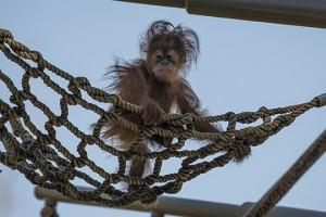 Orangutan Aisha