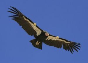 Condor 218