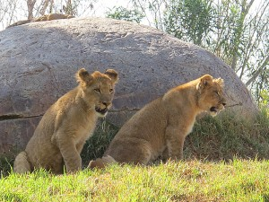 After our early morning tram tour, we saw the lion cubs Ken and Dixie warming up for the day.