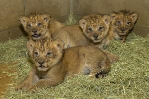 4 lion cubs
