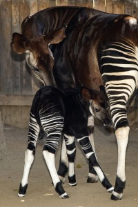 Okapis Ayana and Jackson