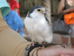 There are many animal presentations throughout your Roar & Snore experience. The tiny pygmy falcon made a big impression on people.