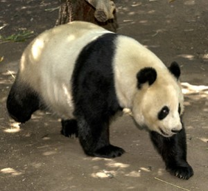 See Bai Yun before the Zoo opens for the day as part of our Black & White Overnight!