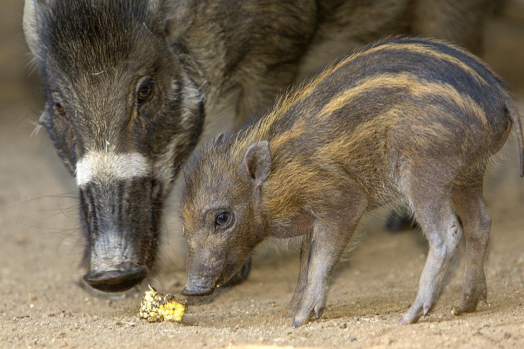 Rare Visayan Warty Pigs Born at San Diego Zoo
